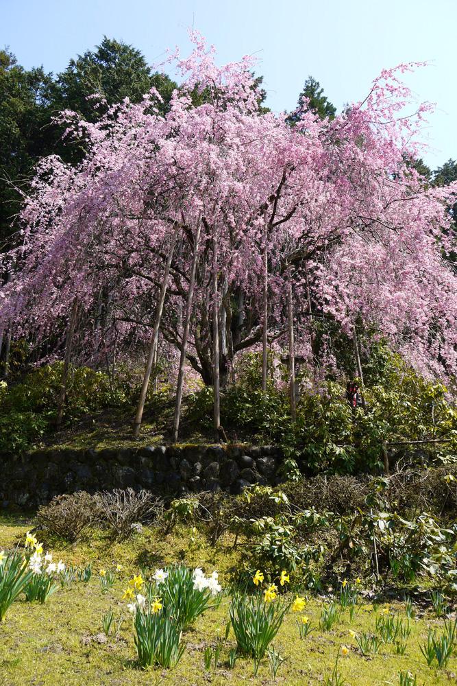 京都 宝泉寺の枝垂桜