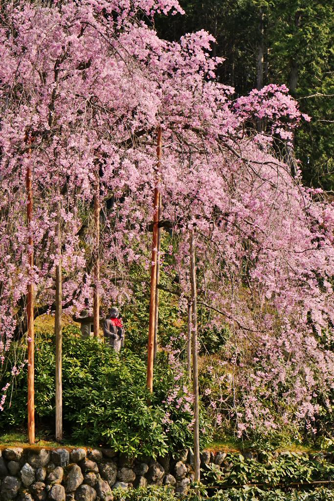 京北 宝泉寺の桜の写真素材