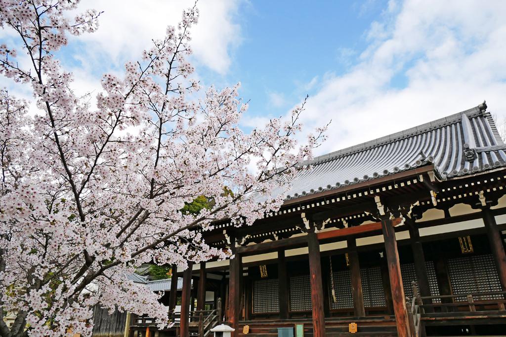 京都 宝塔寺の桜のフリー写真素材