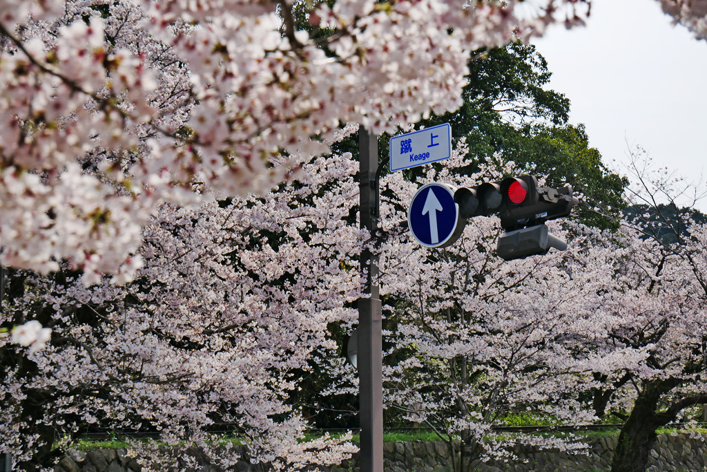 京都 蹴上のインクラインの桜のフリー写真素材