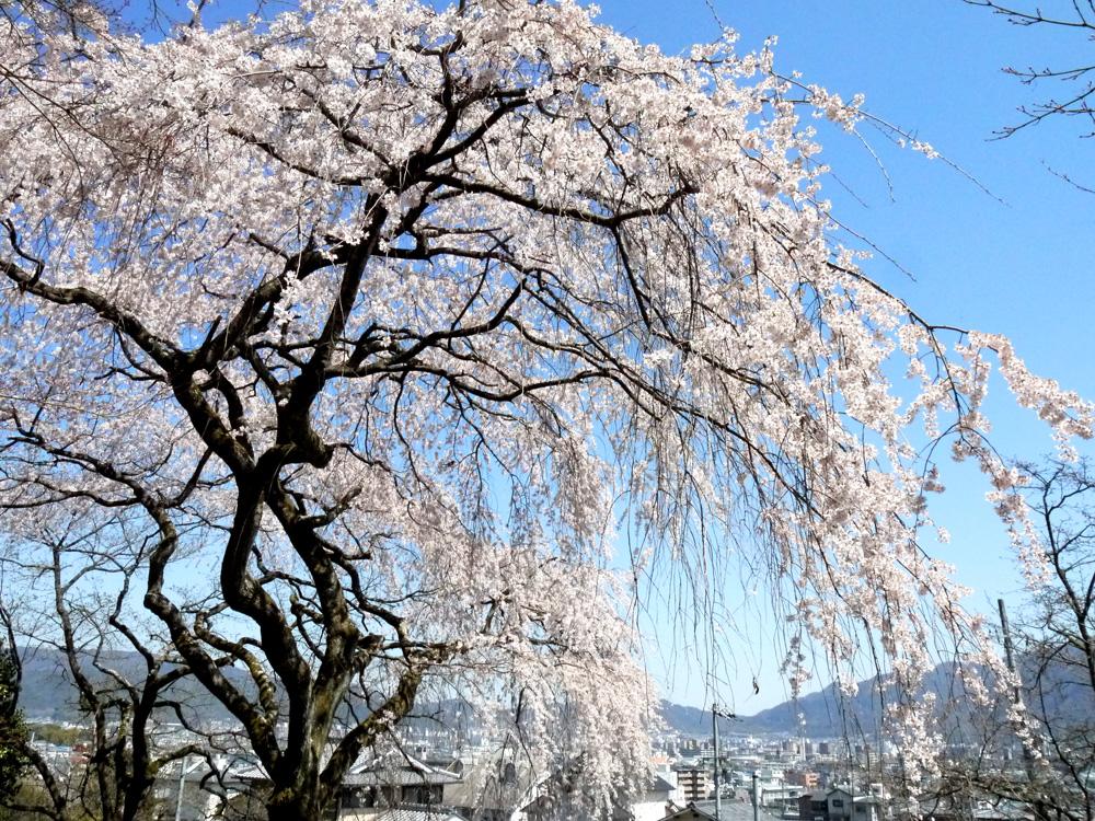 京都 岩屋寺の枝垂桜