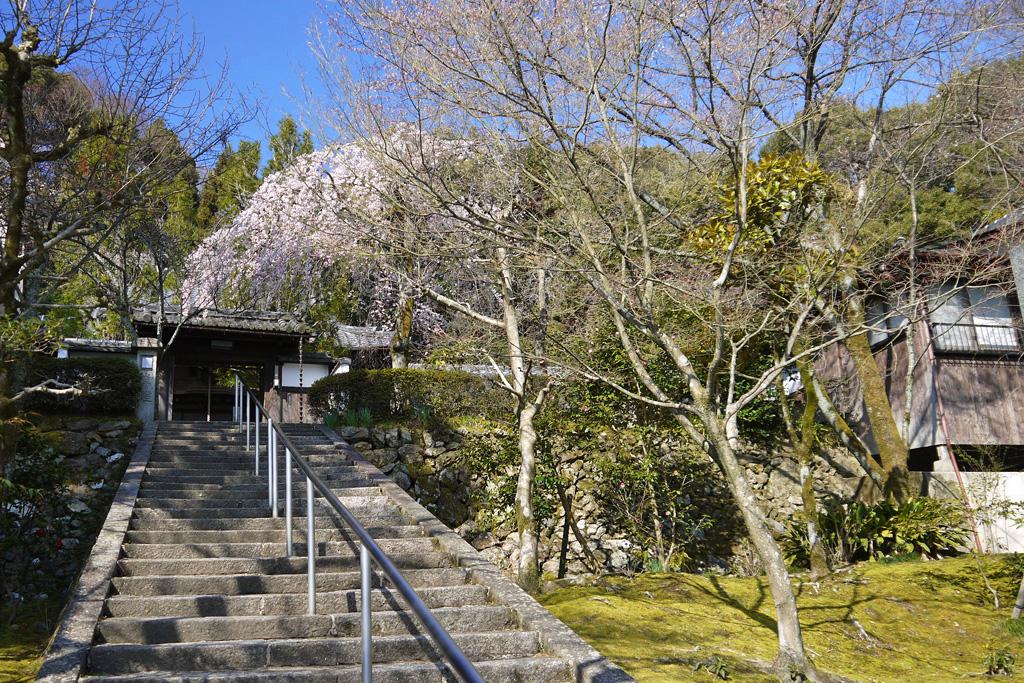 京都山科 岩屋寺の枝垂桜