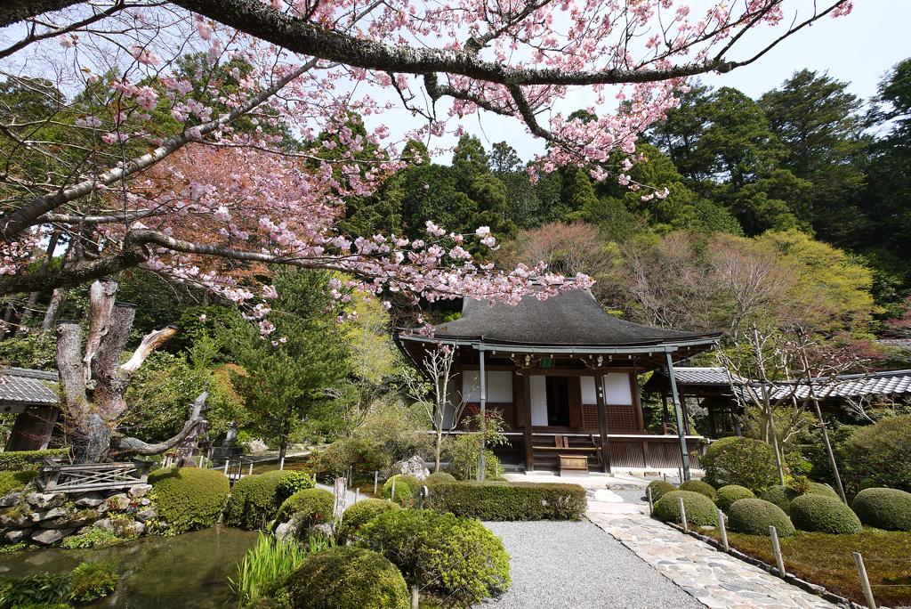 京都 寂光院の桜