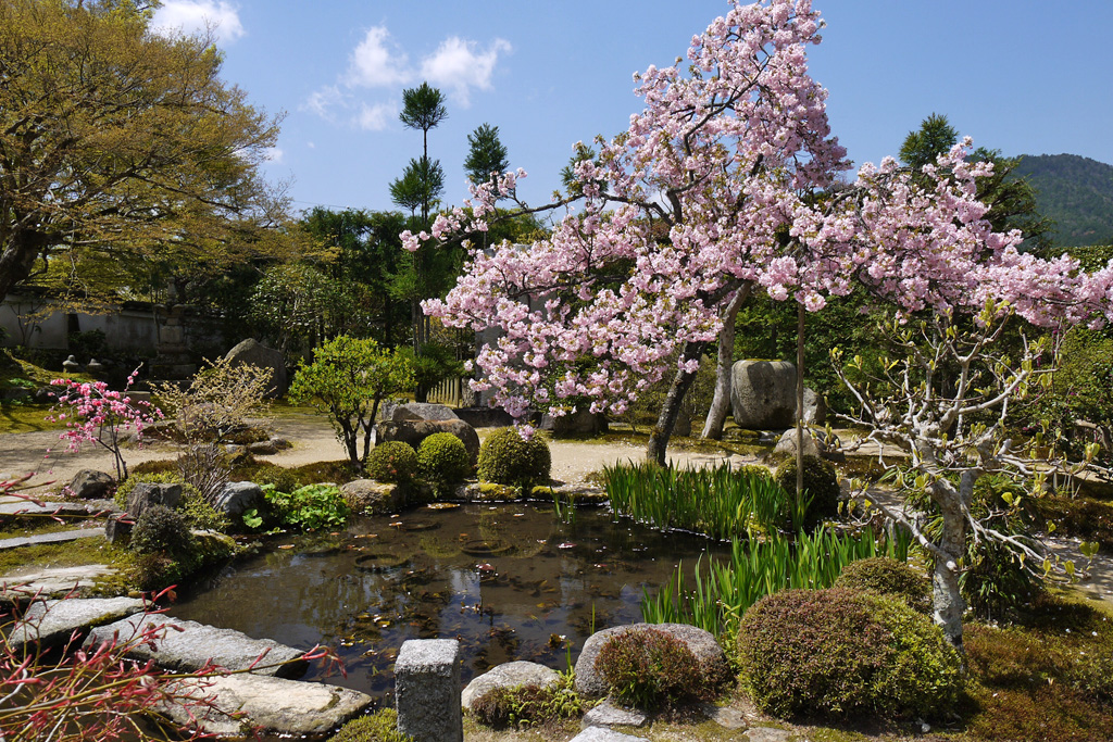京都 実光院の桜