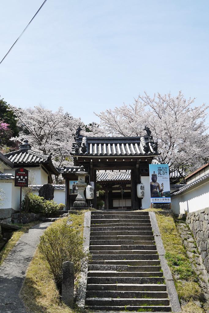 京都 神童寺の桜