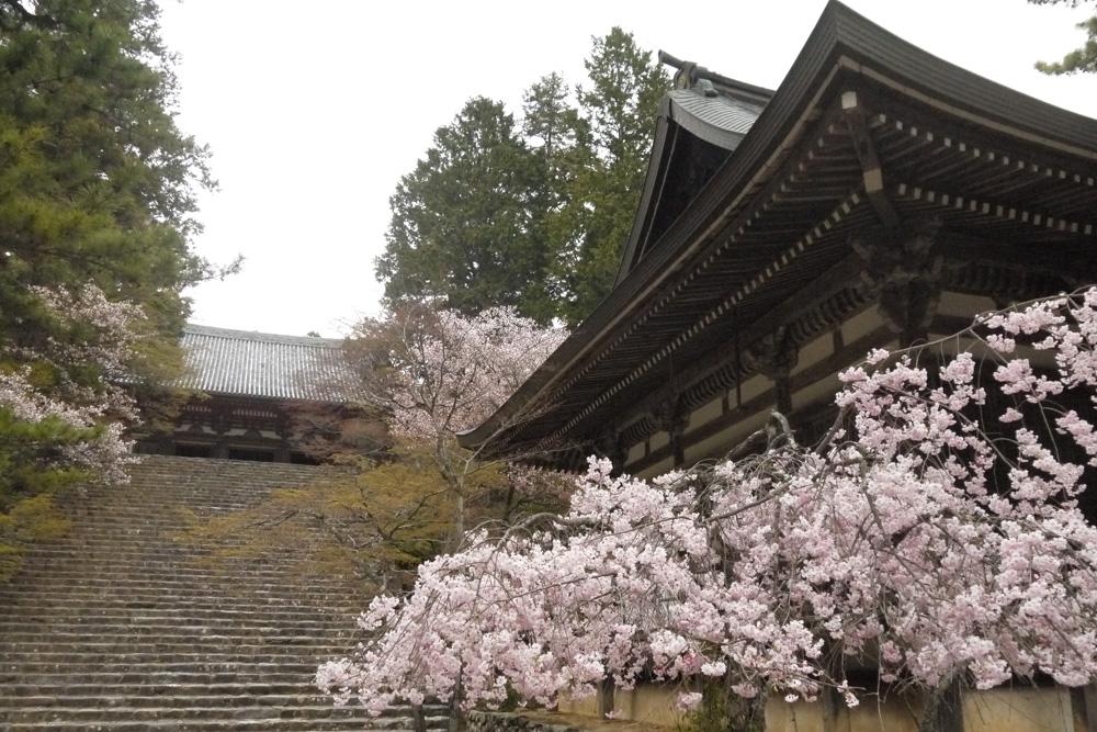 京都 神護寺の枝垂桜