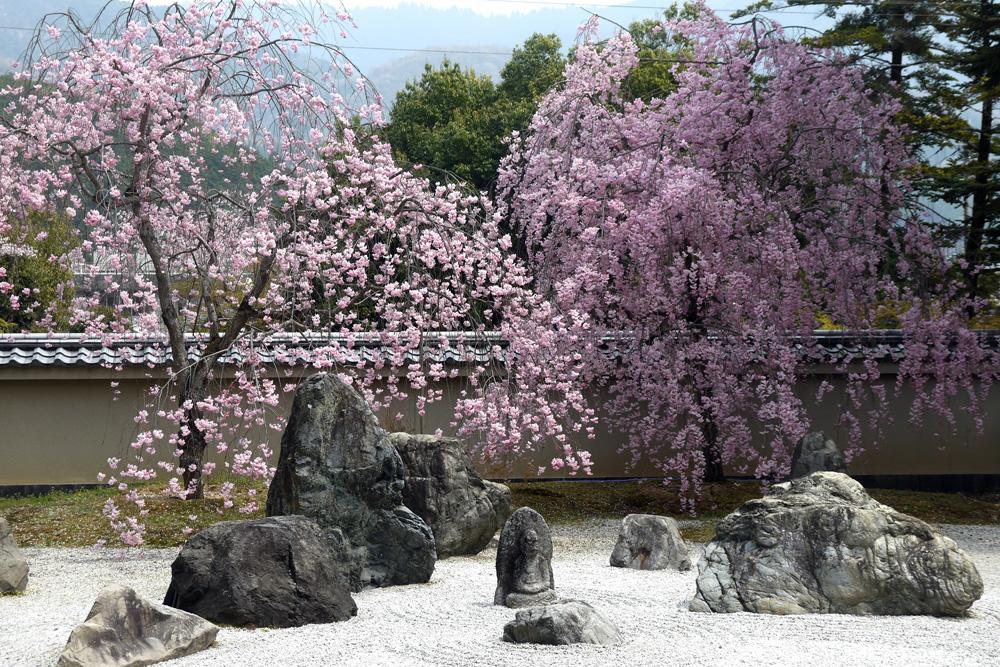 京都 実相院の桜