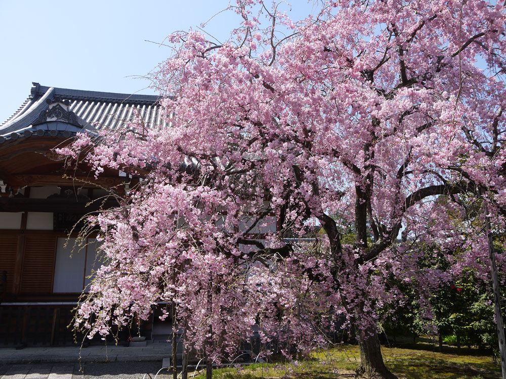 京都 上品蓮台寺の桜