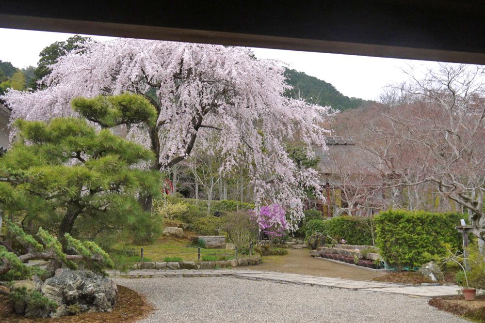 京都 常寂光寺の枝垂桜