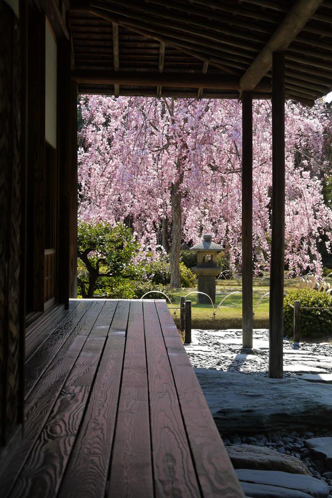 京都 城南宮の枝垂桜