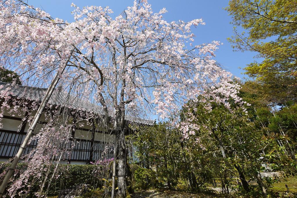京都 常照寺の桜