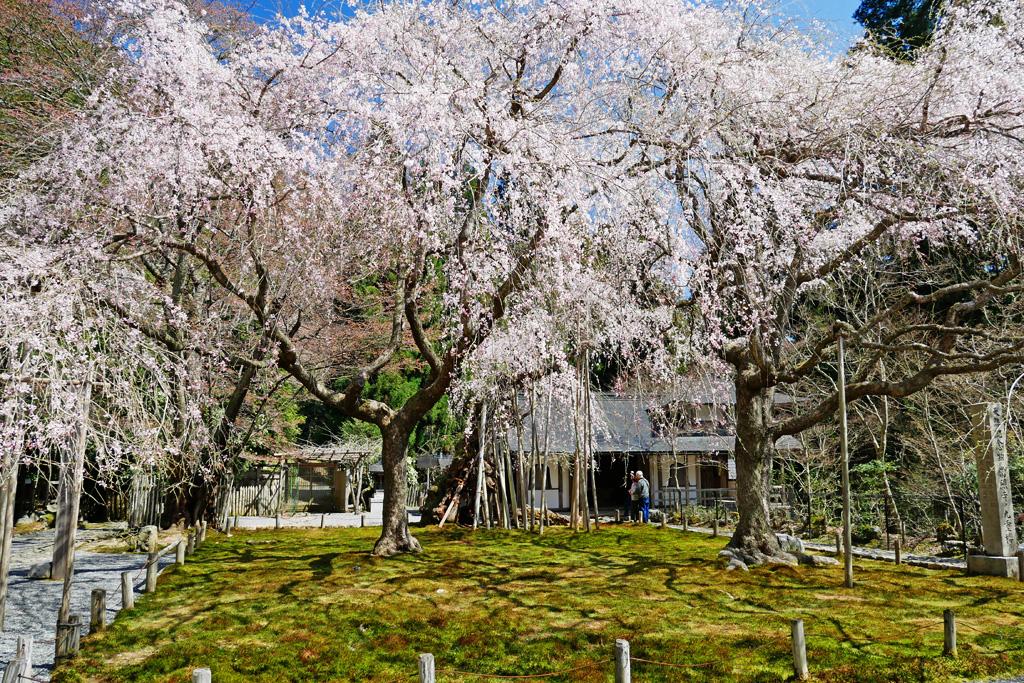 京都 常照皇寺 桜のフリー写真素材