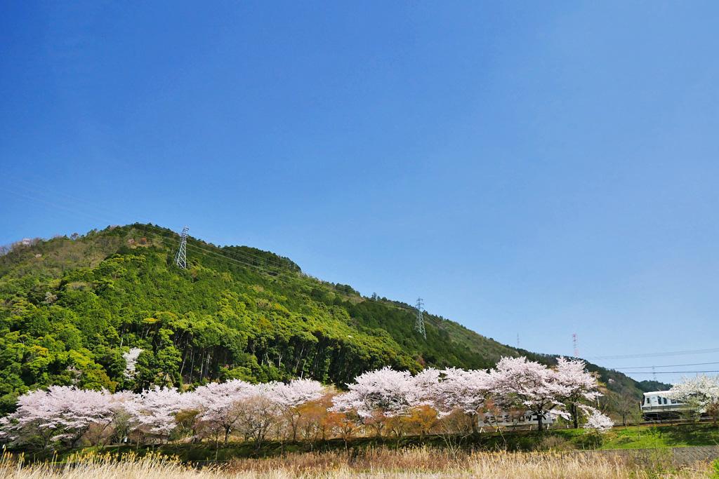 京都 JRと桜のフリー写真素材