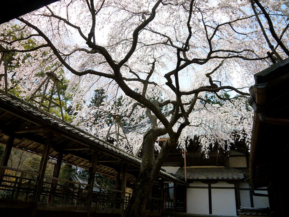 京都 十輪寺の桜