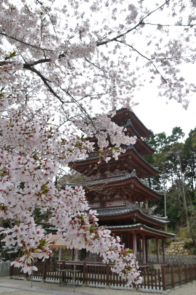 京都 海住山寺の桜