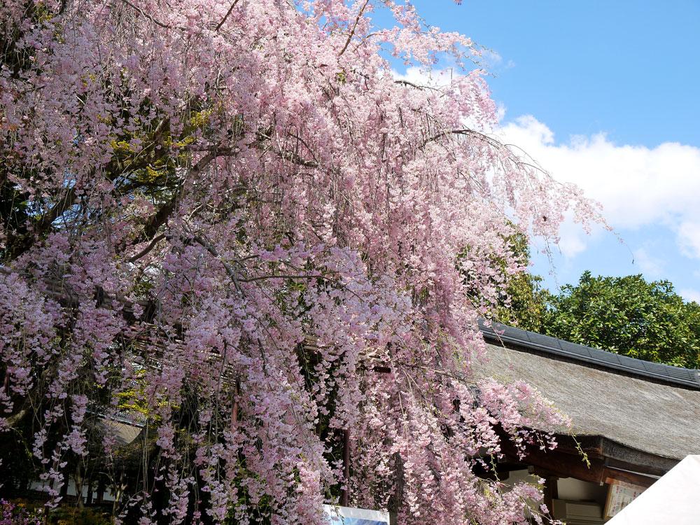 京都 上賀茂神社のみあれ桜
