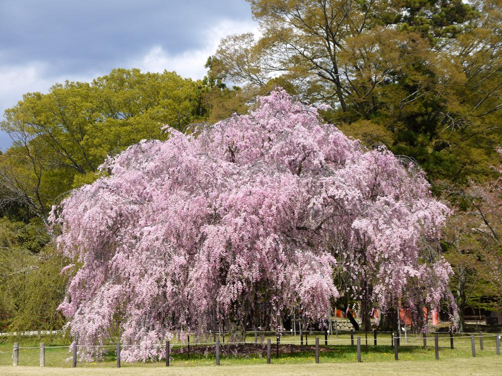 京都 上賀茂神社の斎王桜