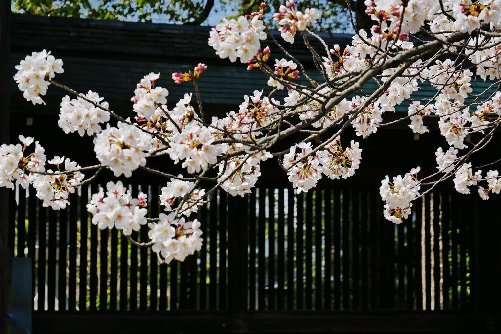 京都 上御霊神社の桜のフリー写真素材