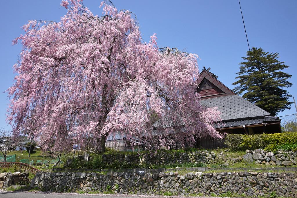 上中公民館前の桜