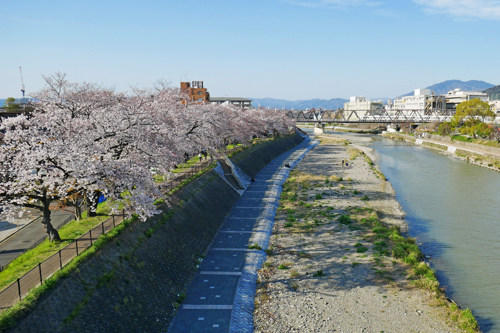 京都 鴨川の桜のフリー写真素材
