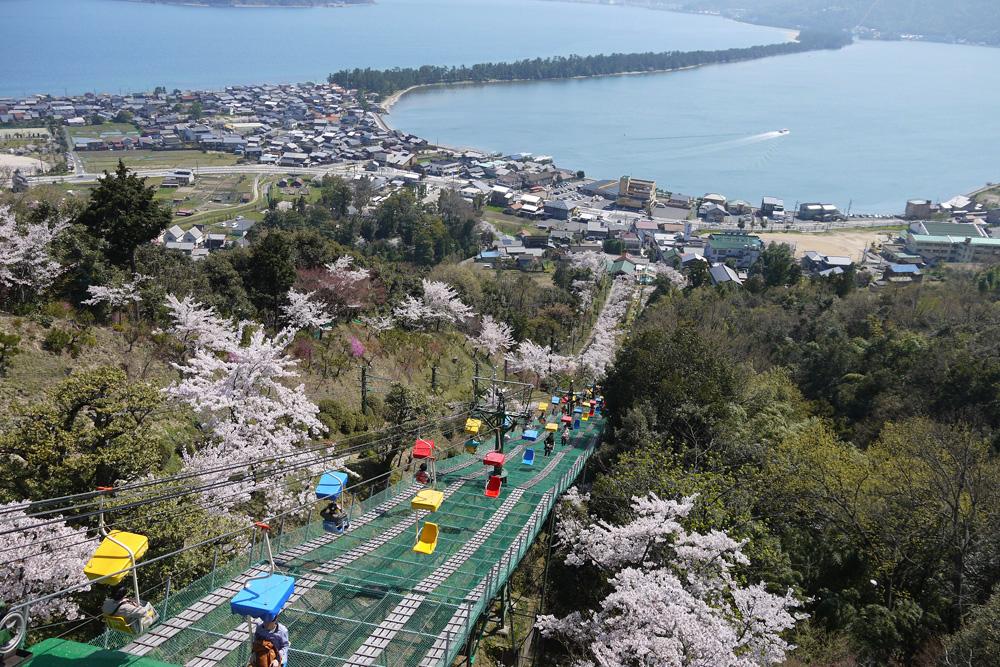 京都 天橋立 傘松公園の桜