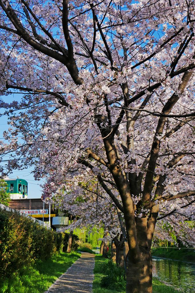 伏見・宇治川派流の桜と京阪電車のフリー写真素材