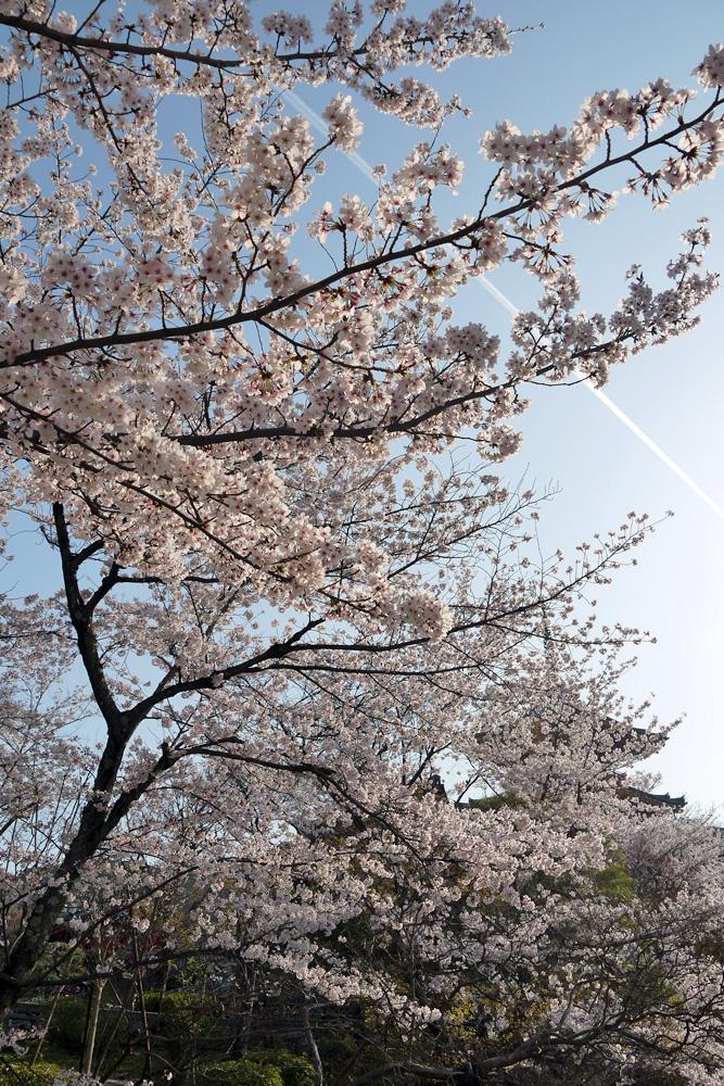 京都 清水寺 桜