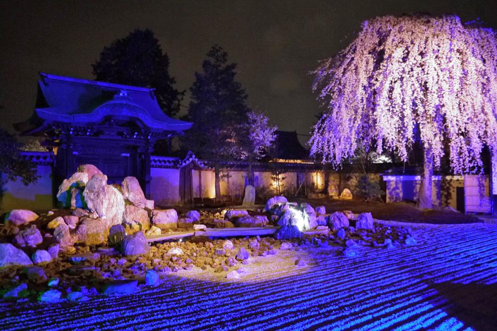 京都 高台寺の桜 ライトアップ