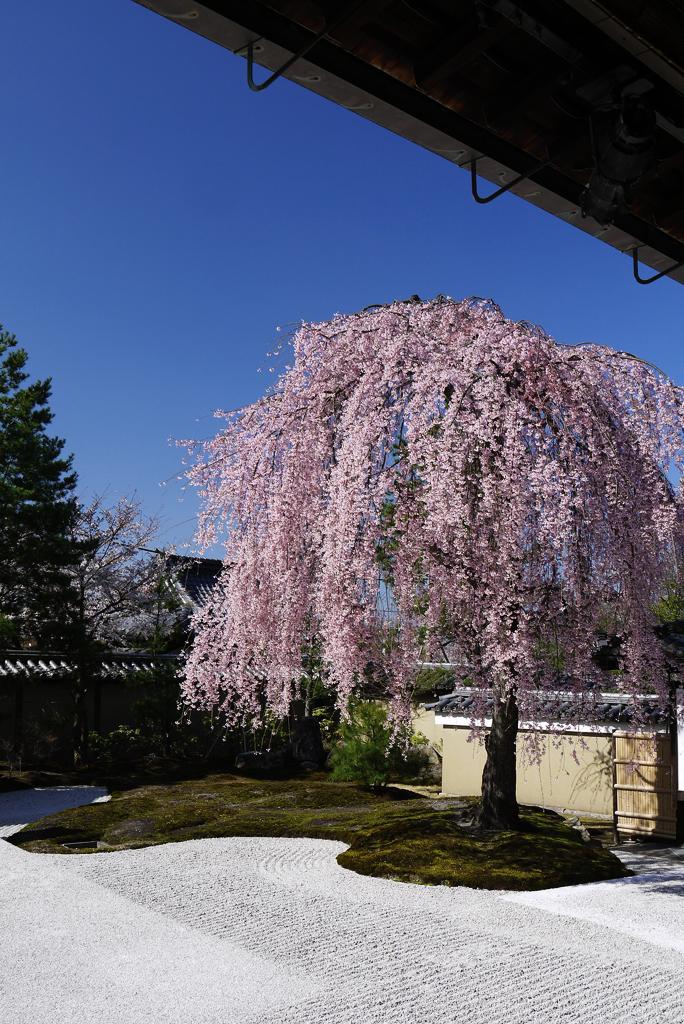 京都 高台寺の枝垂桜の写真素材
