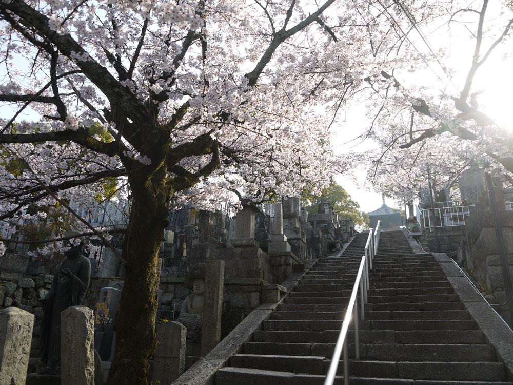 京都 金戒光明寺の桜