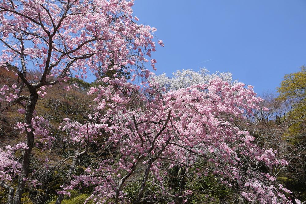 京都 金蔵寺の桜