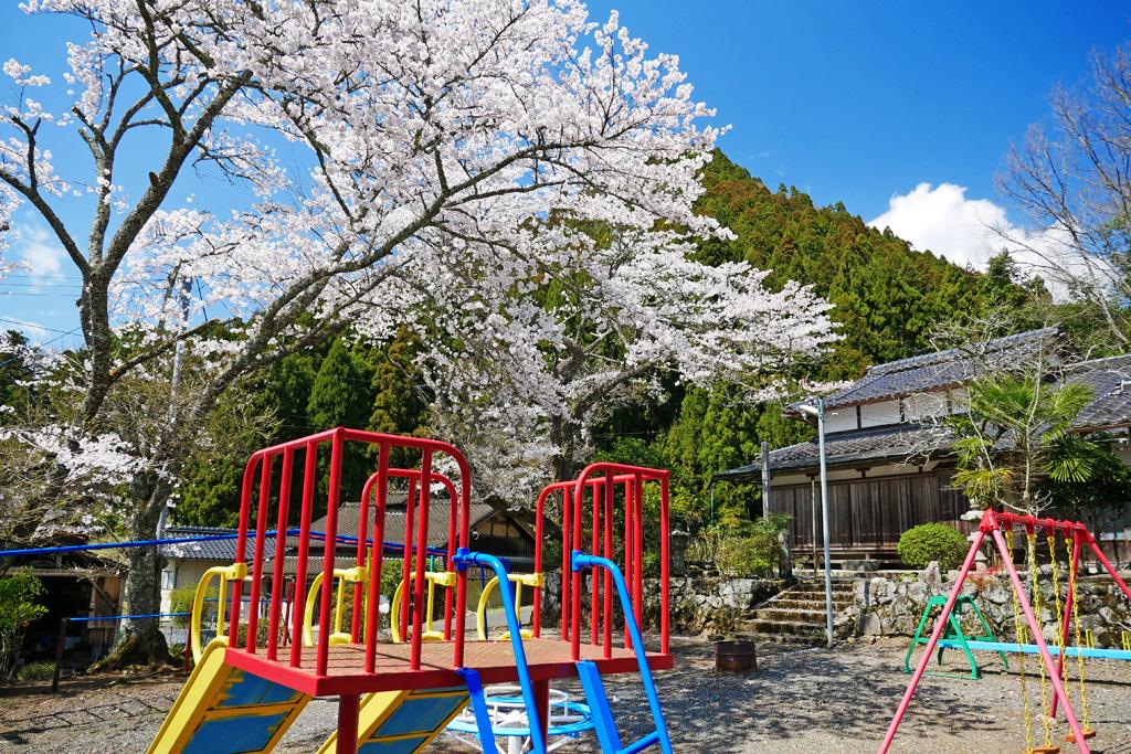 京都 黄徳寺の桜のフリー写真素材