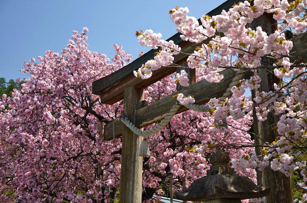 京都 黒田の百年桜