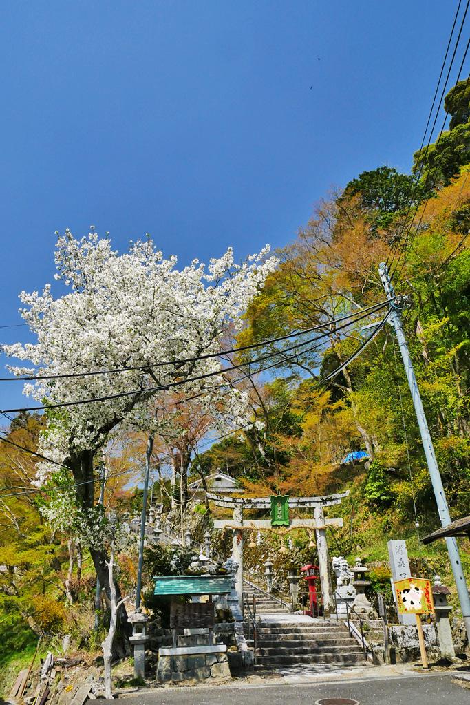 京都 桑田神社の桜のフリー写真素材