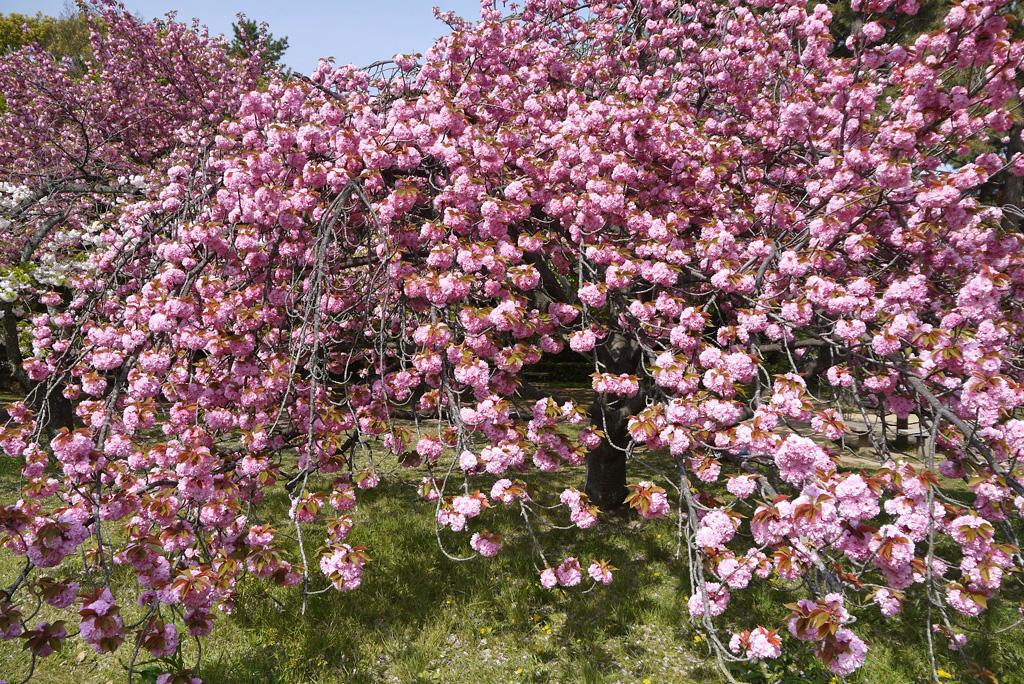 京都御苑の八重桜