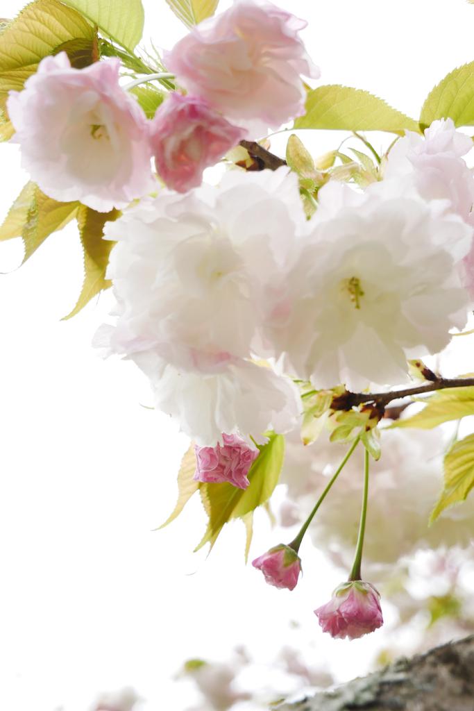 京都御苑の桜のフリー写真素材