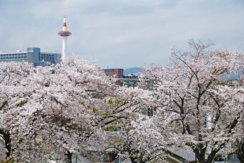 京都 桜のフリー写真素材