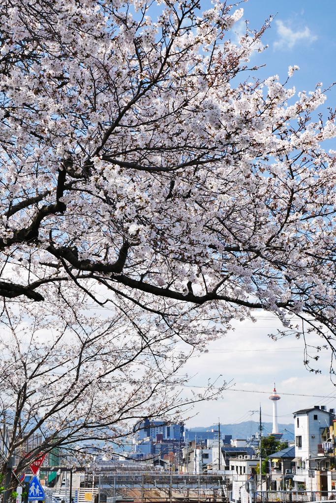 京都タワーの桜のフリー写真素材