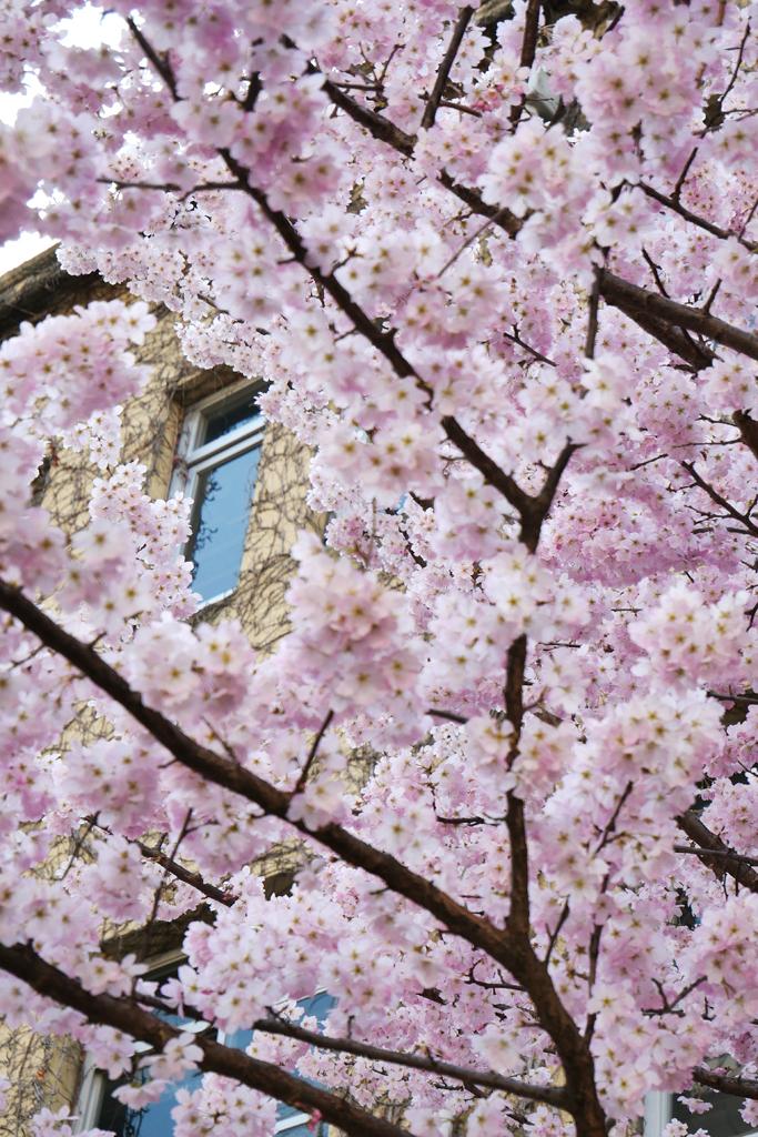 京都 旧成徳中学校の桜のフリー写真素材