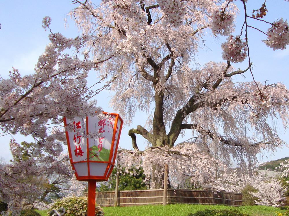 京都 円山公園の桜