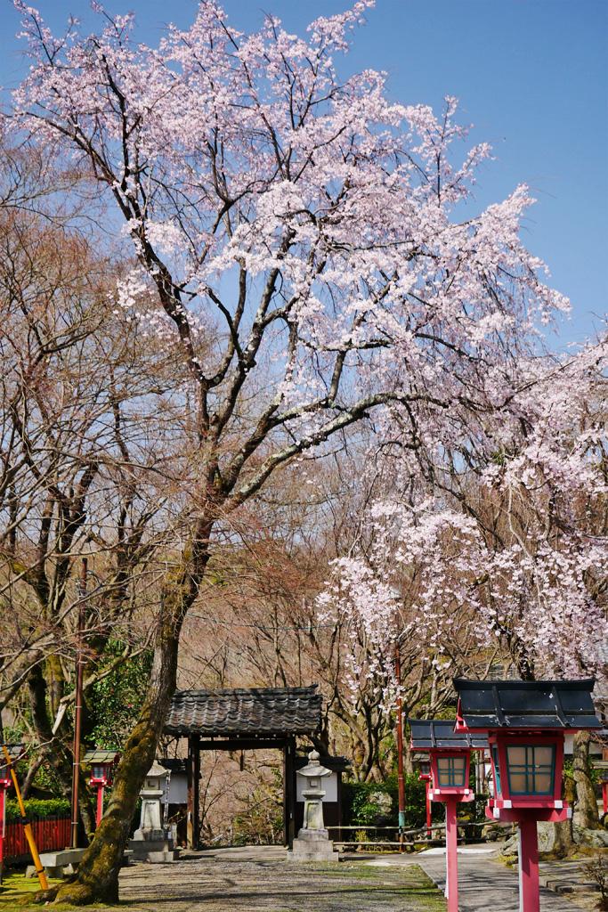 京都 松ヶ崎大黒天の桜のフリー写真素材
