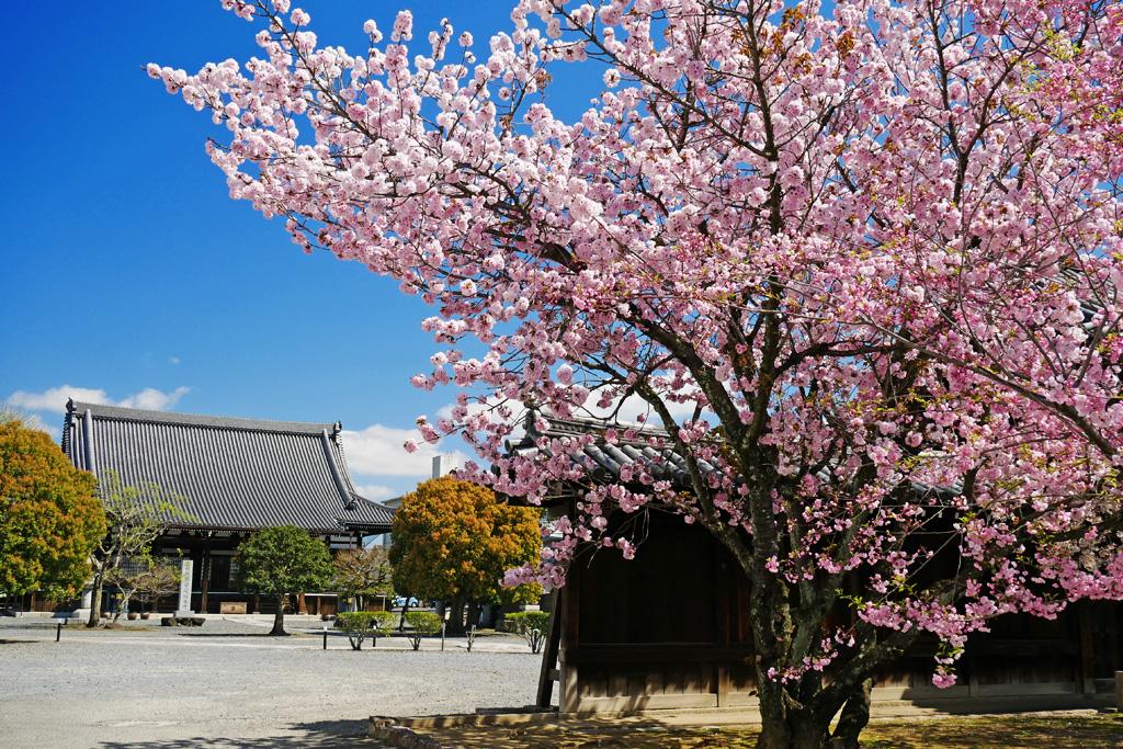 京都 妙覚寺の桜の写真素材