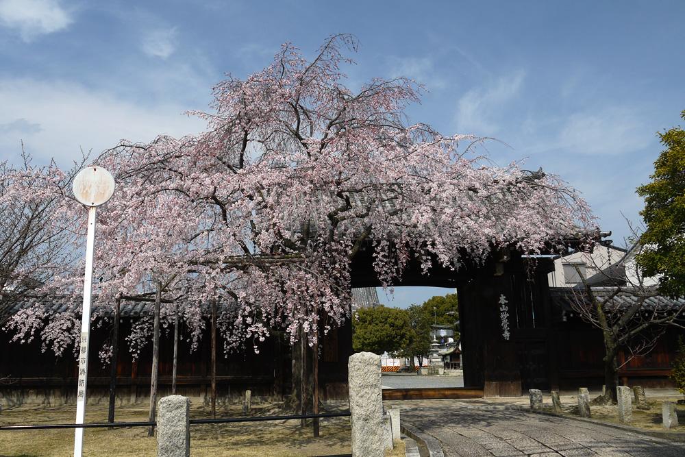 京都 妙覚寺の桜