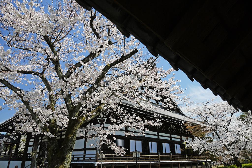 妙顕寺の桜の写真素材