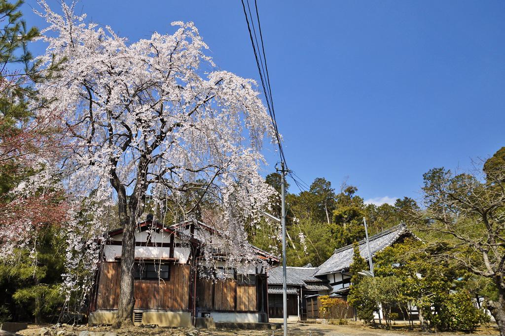 京都 妙光寺の桜のフリー写真素材