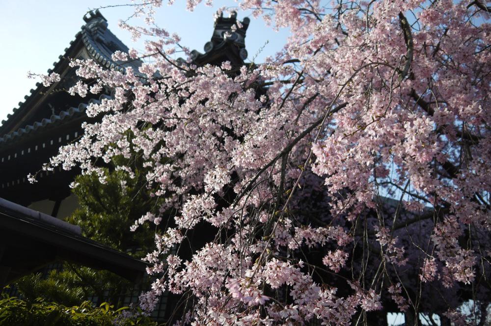 京都 妙満寺の桜
