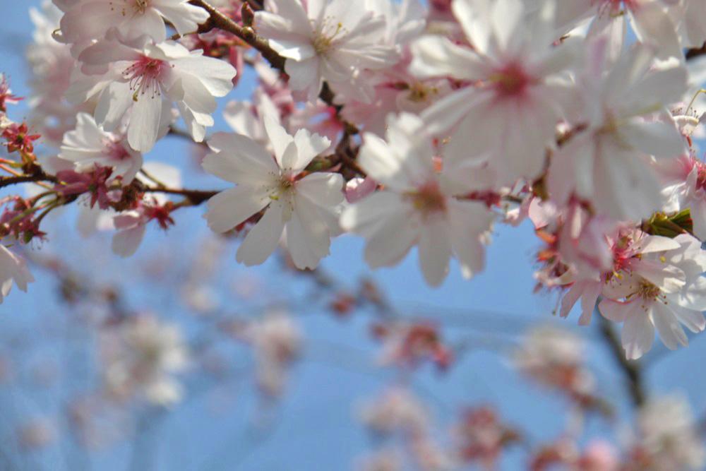 京都 妙蓮寺の桜