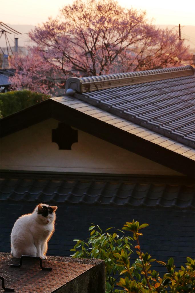京都の猫と桜のフリー写真素材