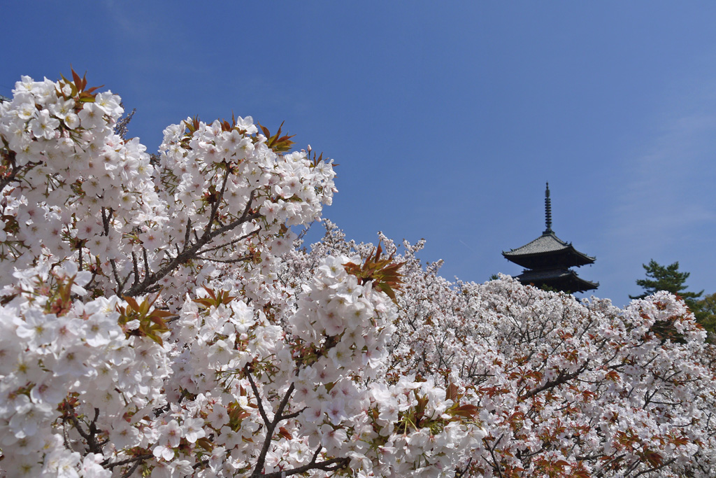 京都 仁和寺の桜
