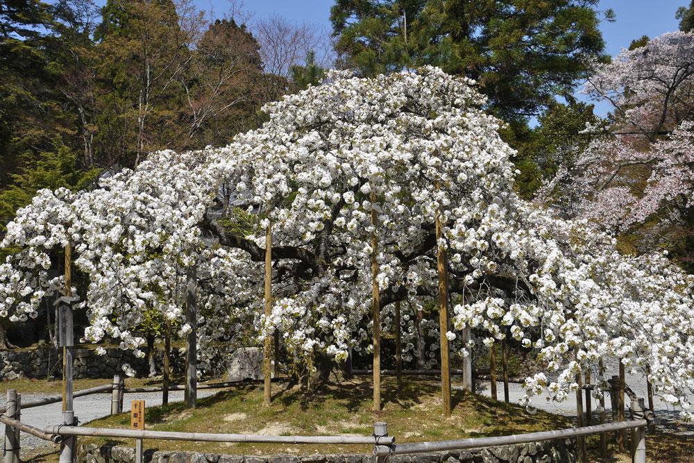 京都 大原野神社の千眼桜
